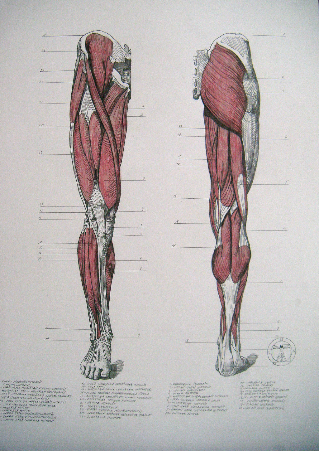 1024x1446 Muscles Of Legs. Front And Back By Reinisgailitis