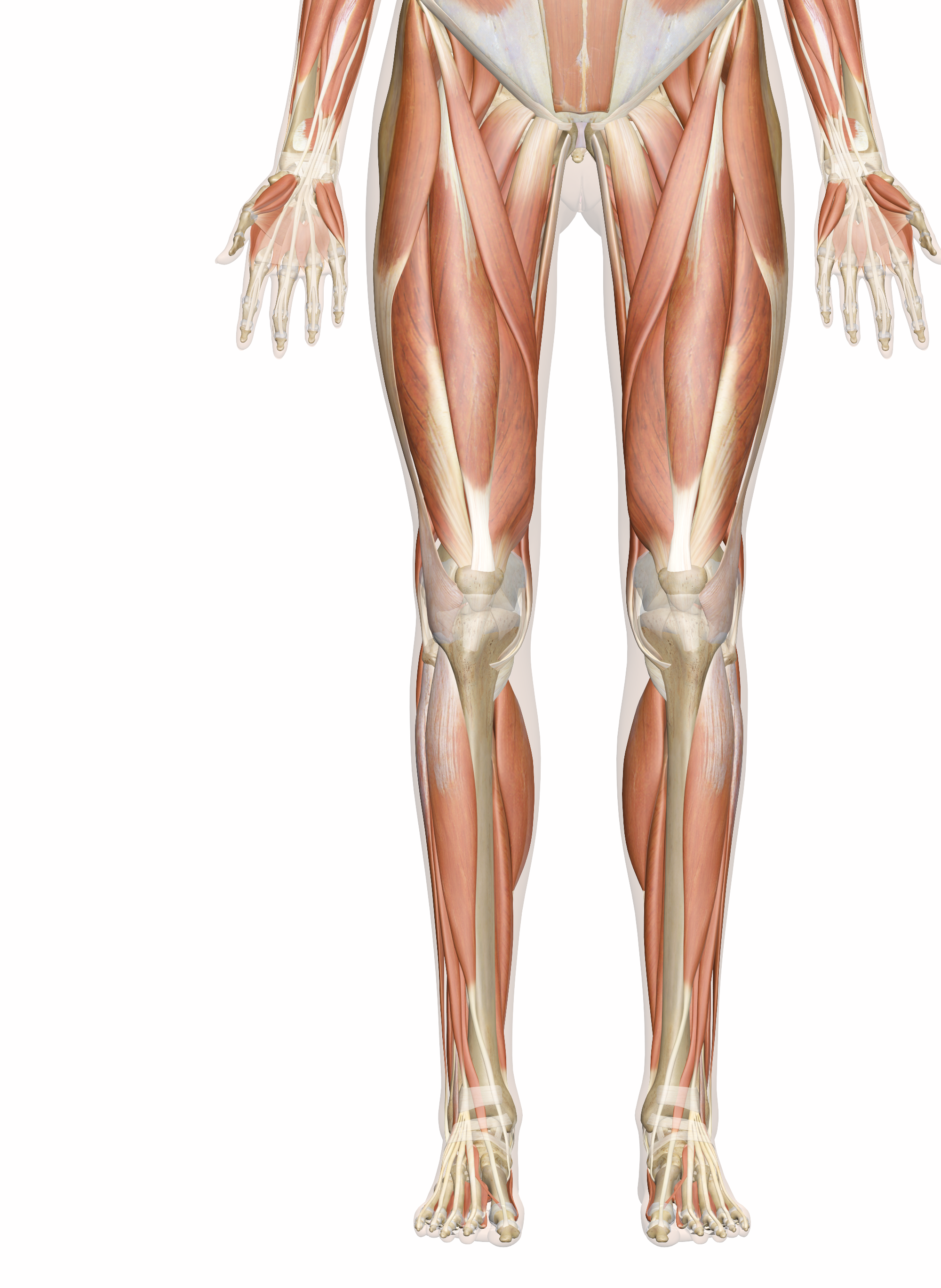 2000x2737 Muscles Of The Leg And Foot