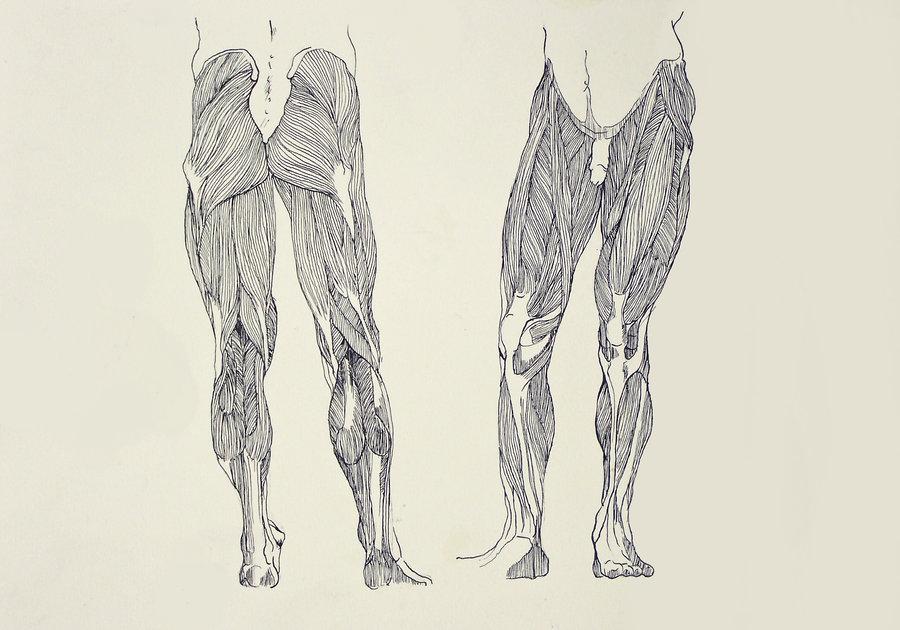 900x630 Leg Muscles By Tpl33