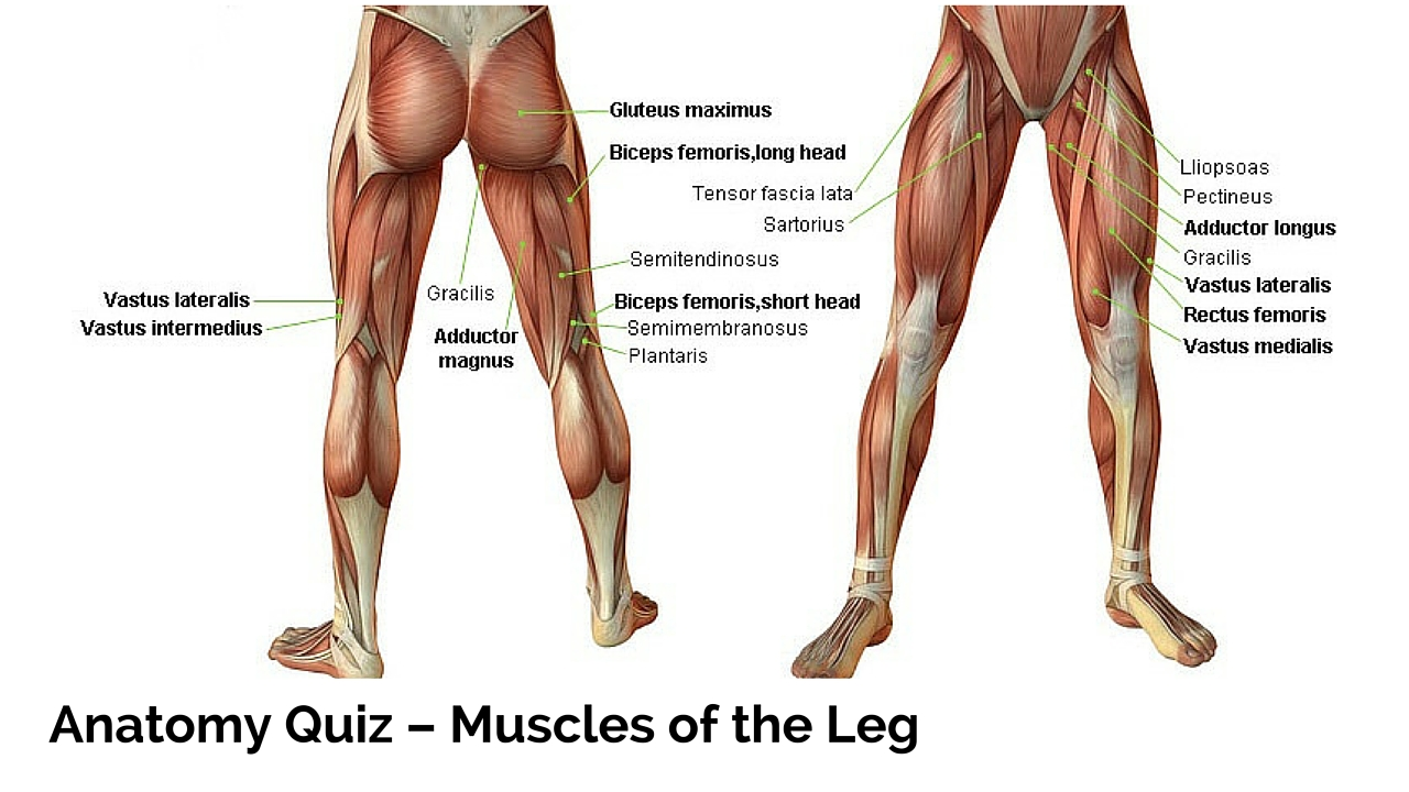 Leg Muscles Drawing At Getdrawings Free For Personal Use Leg