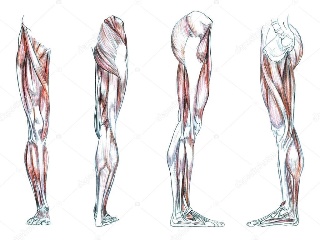 1024x768 Muscles Of Leg Stock Photo Psartdesignstudio
