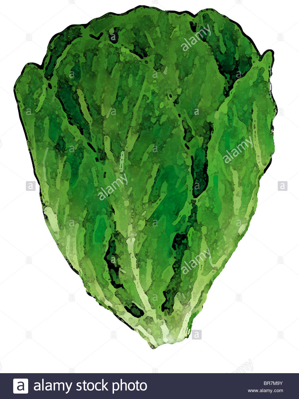 1041x1390 A Drawing Of A Leafy Romaine Lettuce Stock Photo 31517079