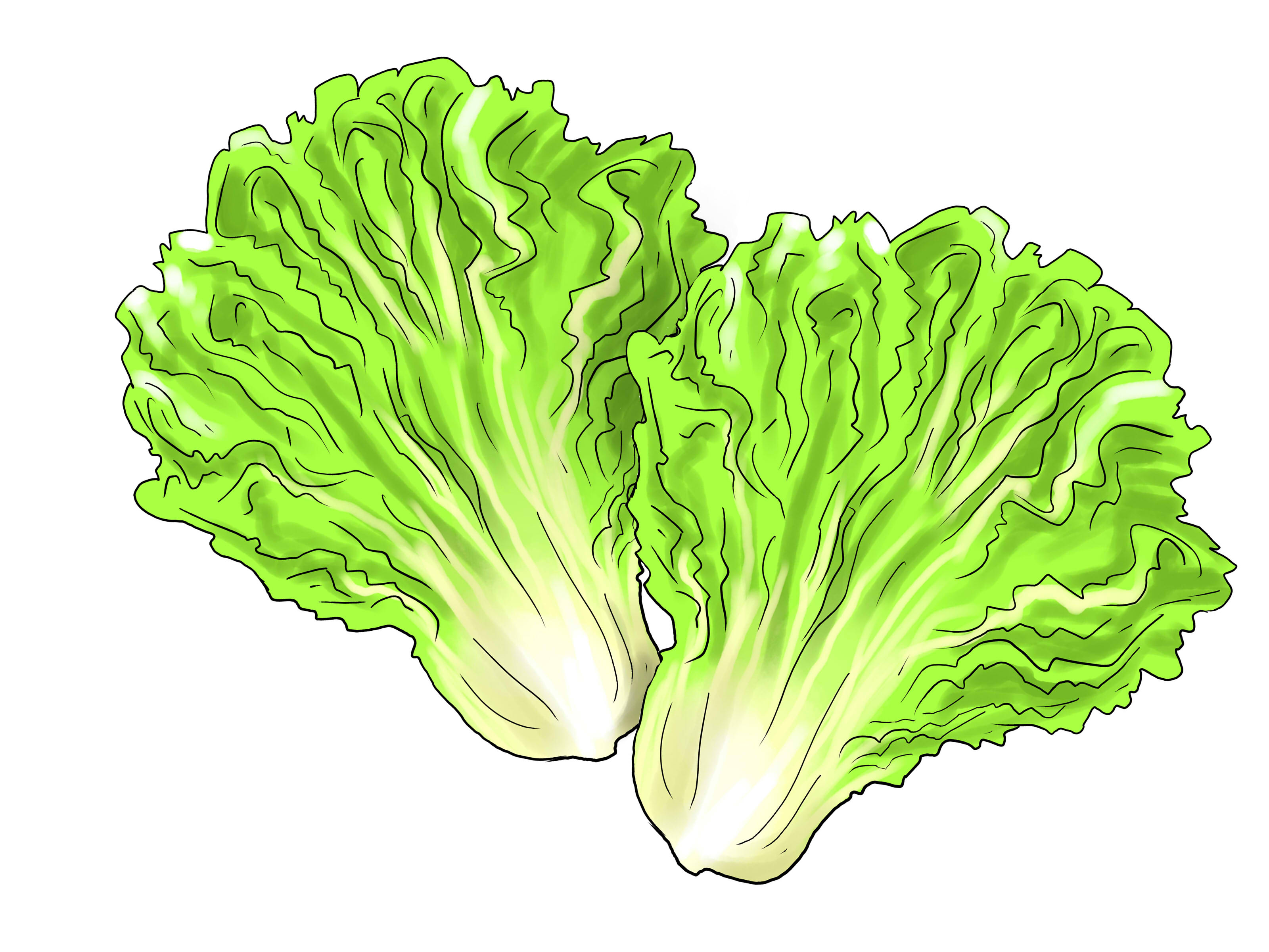 3200x2400 Lettuce Leaf Clipart