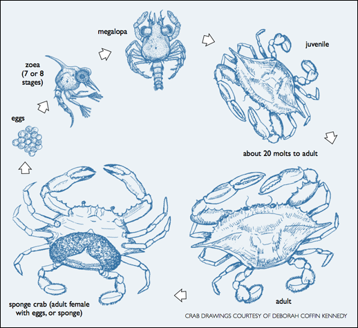518x475 Atlantic Blue Crab Life Cycle. Crab Drawings Courtesy Of Deborah