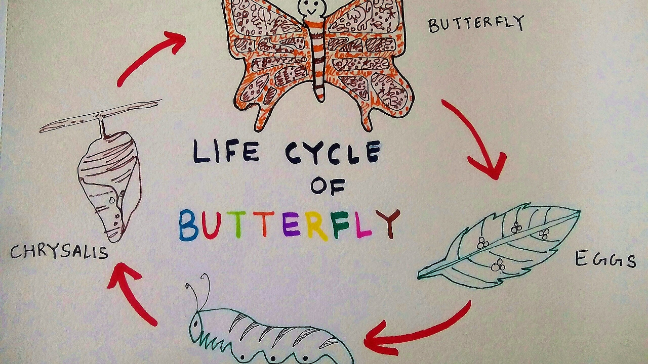 1280x720 How To Draw Butterfly Life Cycle Of A Butterfly Teen's Stuff