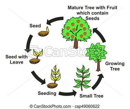 450x375 Plant Life Cycle Diagram With All Stages Seed With Leave Vector