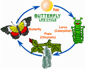 284x230 Cocoon Articles And Butterfly Life Cycle Cocoon And Butterfly