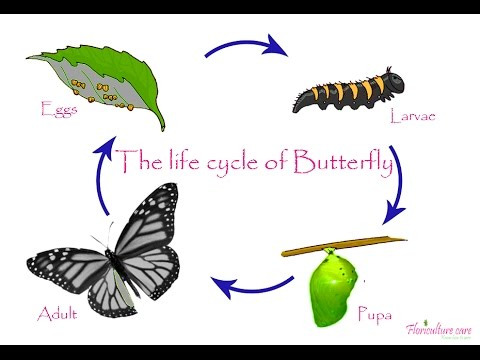 480x360 Life Cycle Of Butterfly