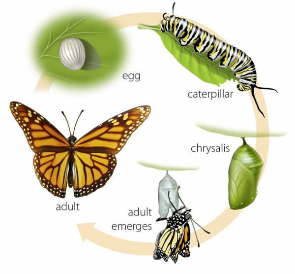 600x556 Life Cycle Of A Butterfly Pictures Free Teaching Resources