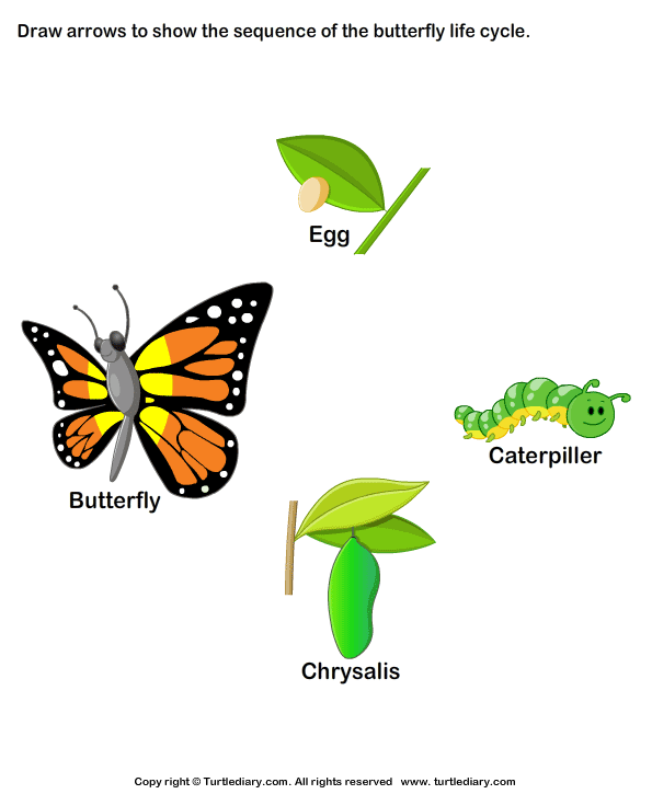 595x725 Stages Of Butterfly Life Worksheet