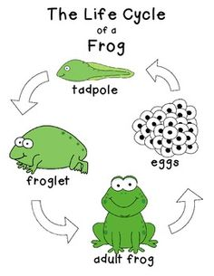 236x305 Frog Life Cycle Clipart