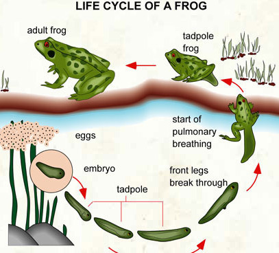 407x368 Lesson Plan Of Life Cycles Of Frog General Science Grade Iv