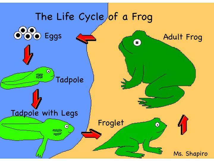 720x542 Primary Worksheet Life Cycle Frog Frog Life Decor Ideas