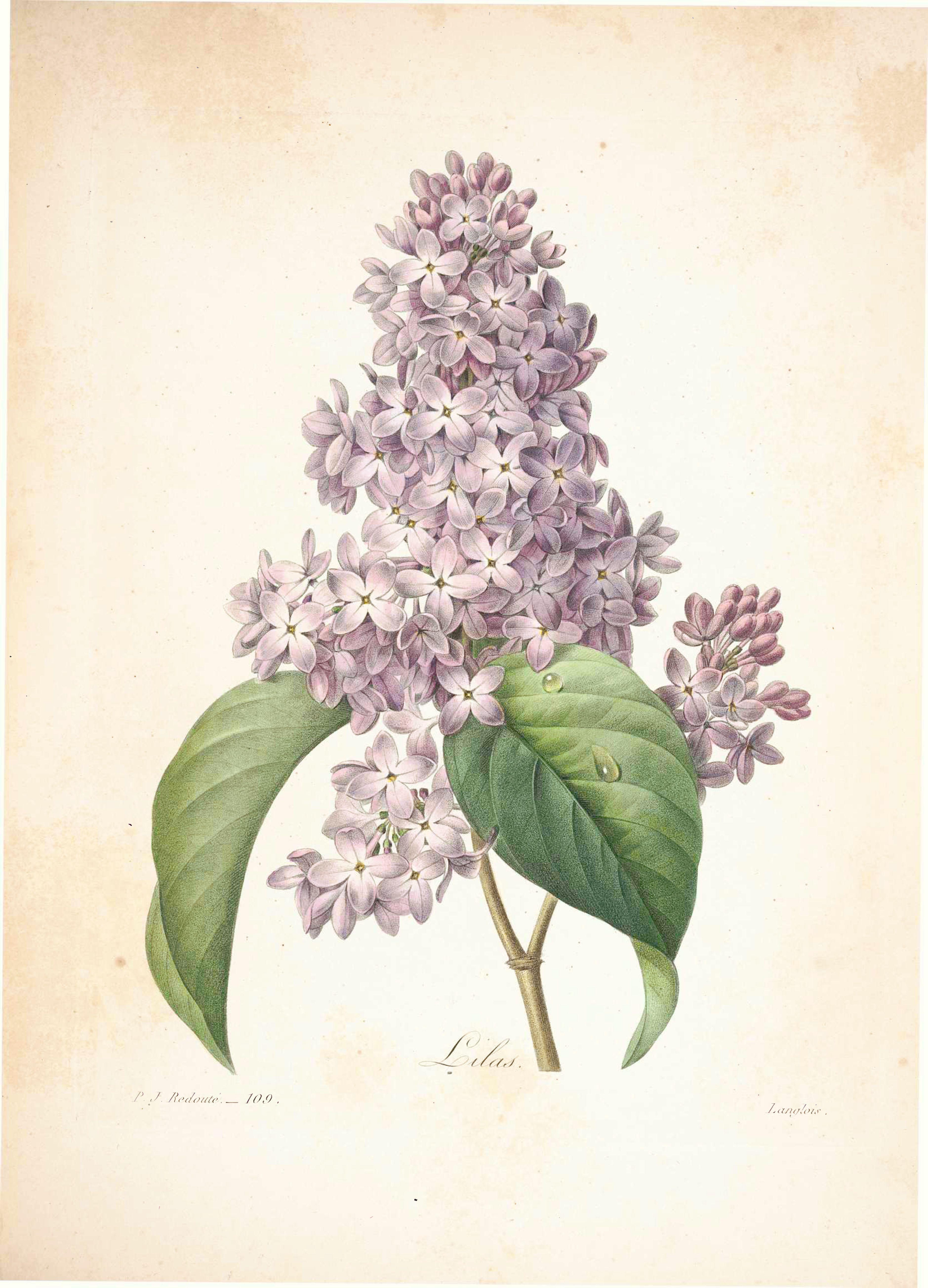 3758x5214 Belles Fleurs 1833 By Pierre Joseph Lilacs And Tattoo