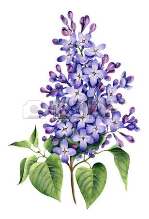 308x450 Blue Hepatica With Petals. Watercolor Botanical Illustration