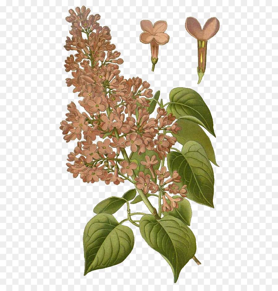 900x940 Common Lilac Botany Flower Botanical Illustration