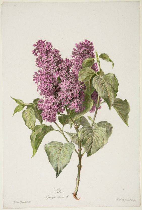 564x834 Image Result For Lilac Botanical Drawing Art 1 First Project