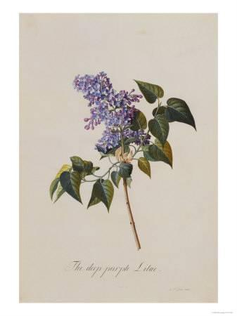 337x450 The Deep Purple Lilac, A Botanical Illustration Giclee Print By