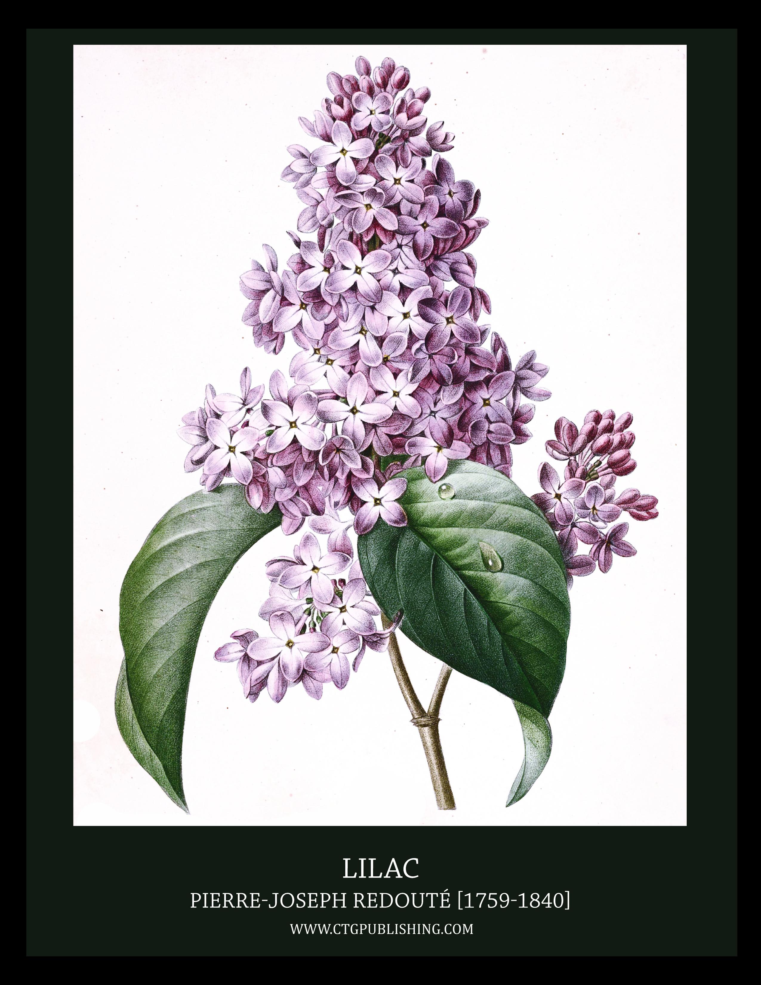 2550x3300 Lilac Illustration By Pierre Joseph Redoute.jpg