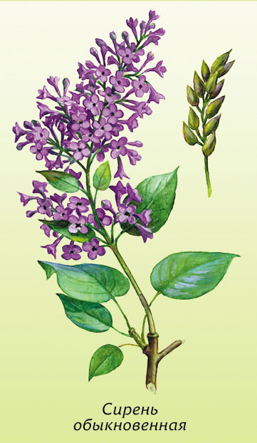 361x622 How To Draw A Lilac With A Pencil Step By Step