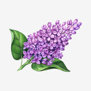 300x300 Lilac