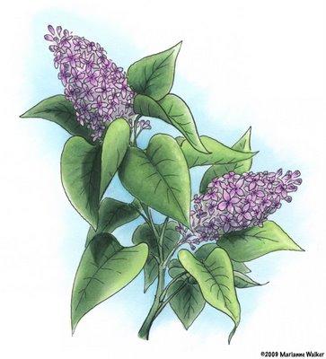 363x400 Lilacs Madi's Drawings.