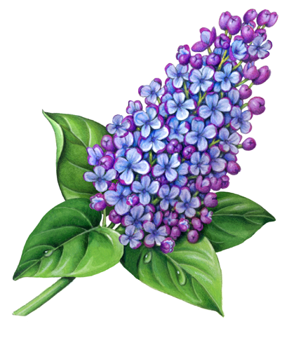 432x482 Pix For Gt Lilac Botanical Drawing Ink Botanical