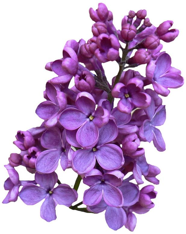 618x777 28 Best Lilac Blossoms Images On Blossoms, Flowers