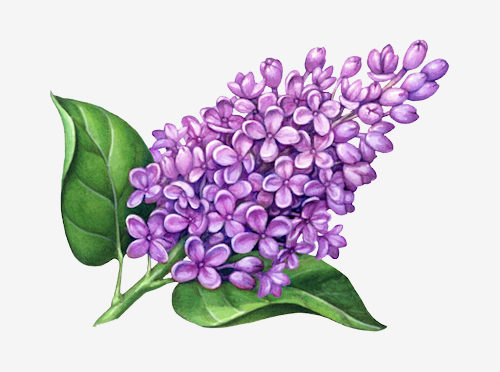 500x372 Lilac Drawing
