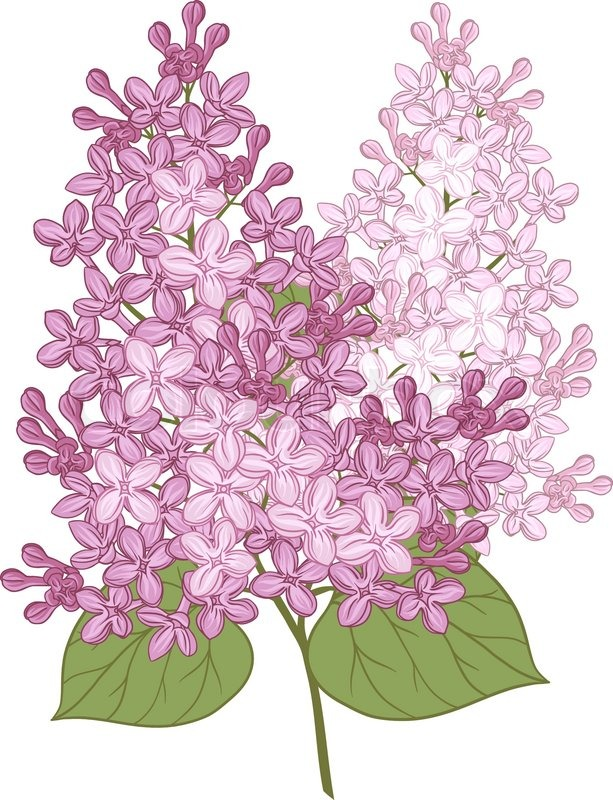 613x800 Vector Flowers Of Lilac Illustration For Your Design Stock