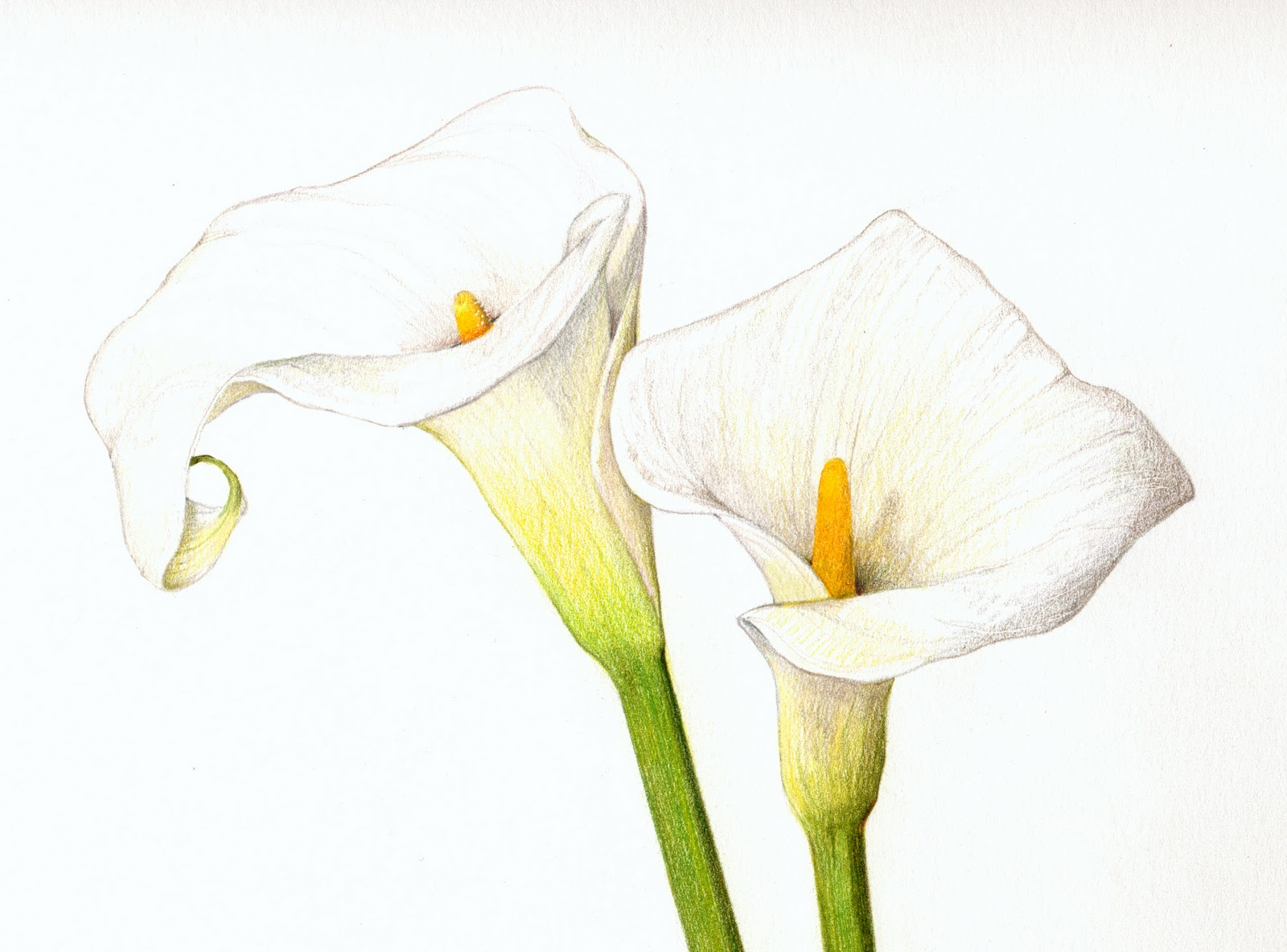 1600x1184 Calla Lily Flower Drawing Color Pencil Calla Lilies Flowers