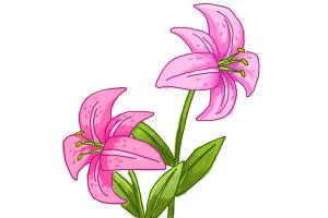 300x200 How To Draw A Stargazer Lily