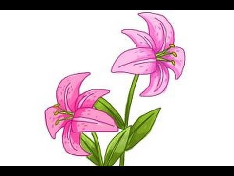 480x360 How To Draw A Stargazer Lily