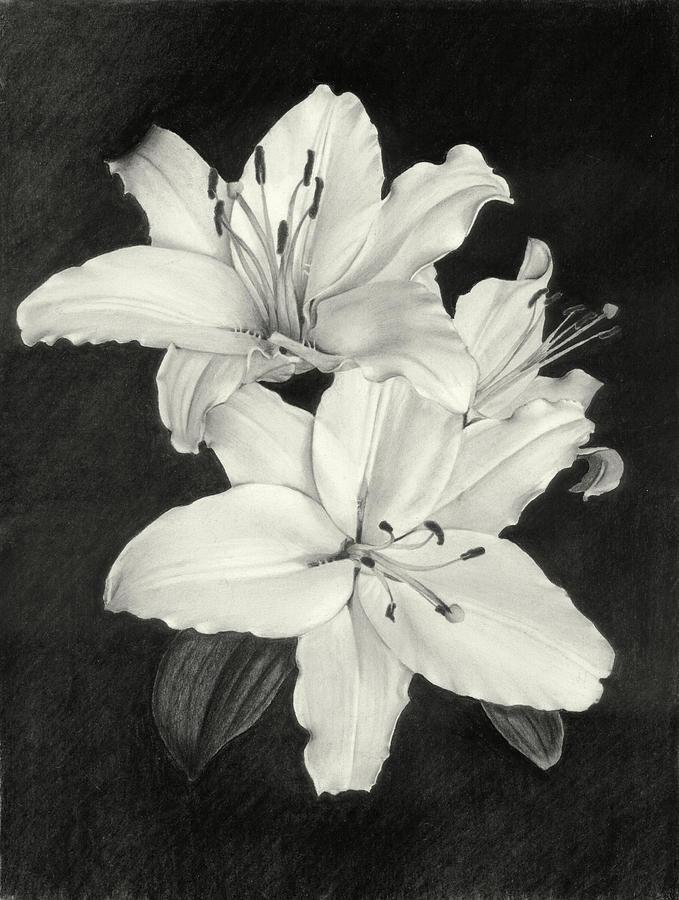 679x900 Lilies Drawing By Nicola Butt