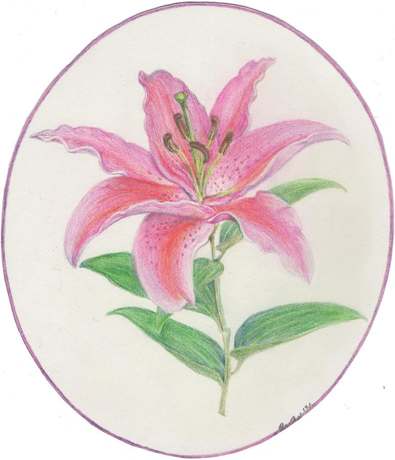 773x900 Stargazer Lily Drawing By Joanna Aud