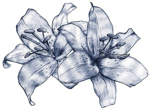 603x440 Lily Flowers Drawings Lily Flowers Tattoo Drawing {Embroidery