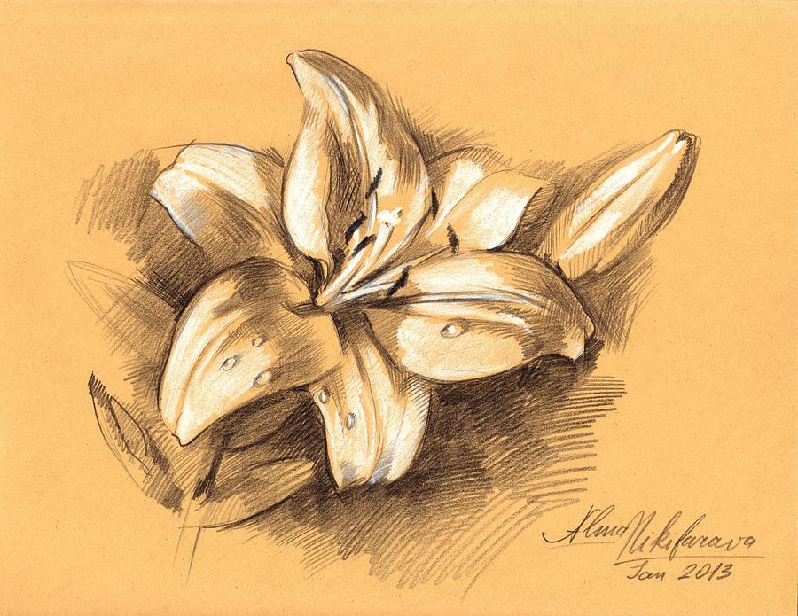 900x695 Asiatic Lily Flower With Bud Sketch Drawing By Alena Nikifarava