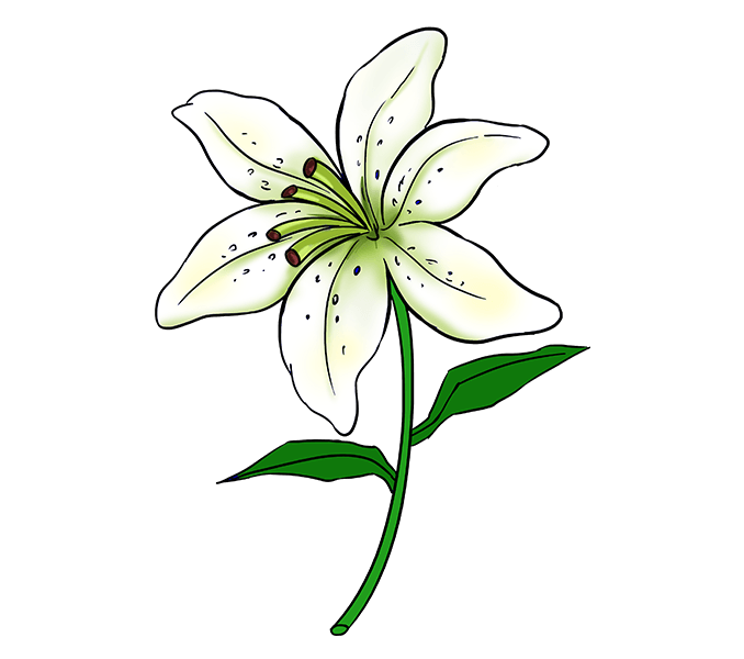 678x600 How To Draw A Lily Flower Drawing Tutorials, Flower Drawings
