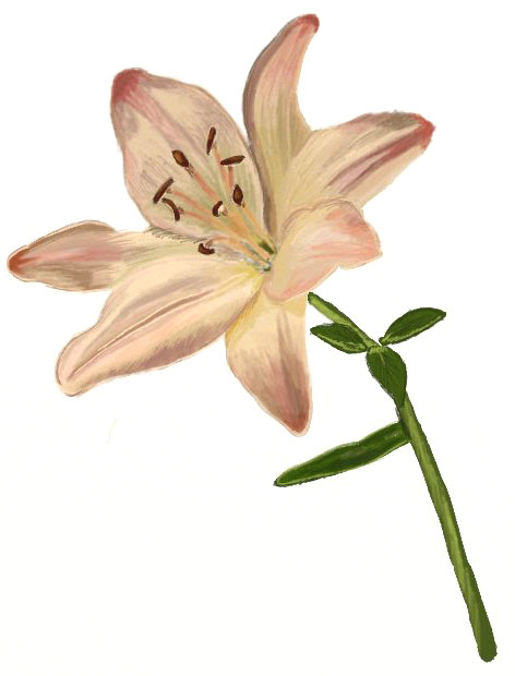 472x620 How To Draw A Lily Flower