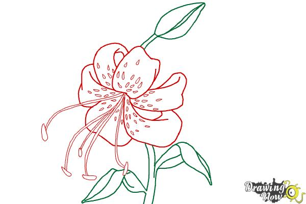 600x400 How To Draw A Tiger Lily