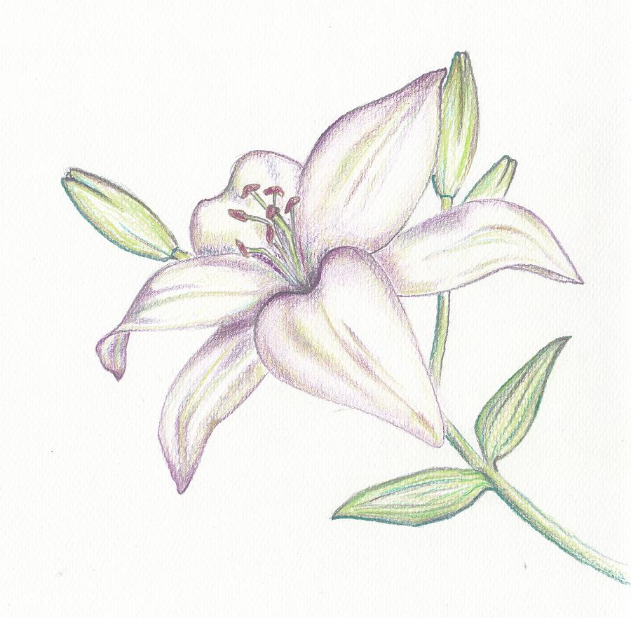 900x882 Lilies Drawing