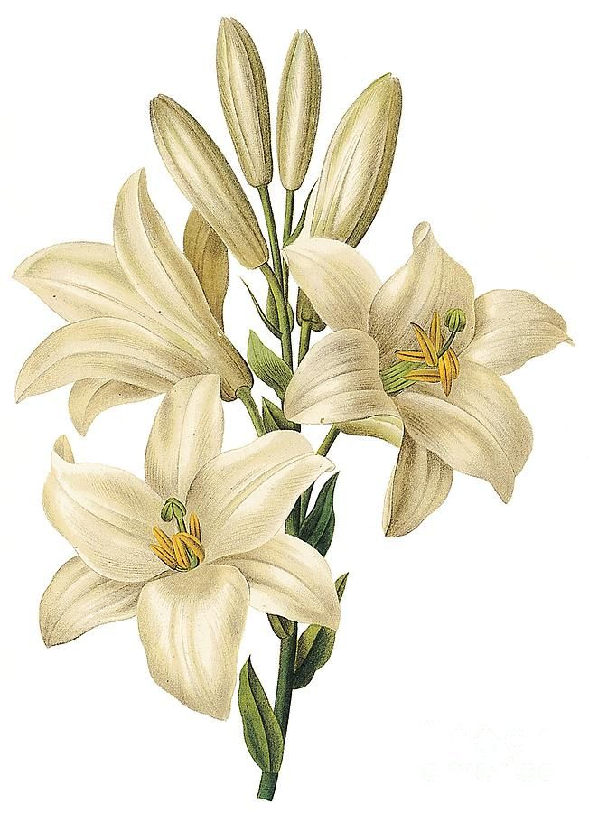 652x900 Lily Flower Drawing Color Flower Art Flower