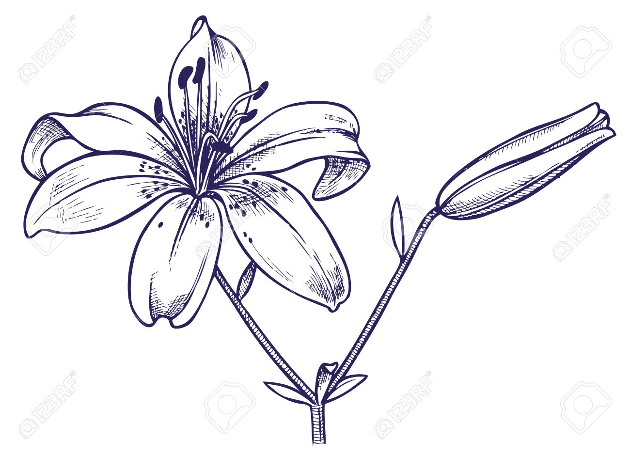 1300x941 Hand Drawing With Image Of Open And Closed Bud Lily Royalty Free