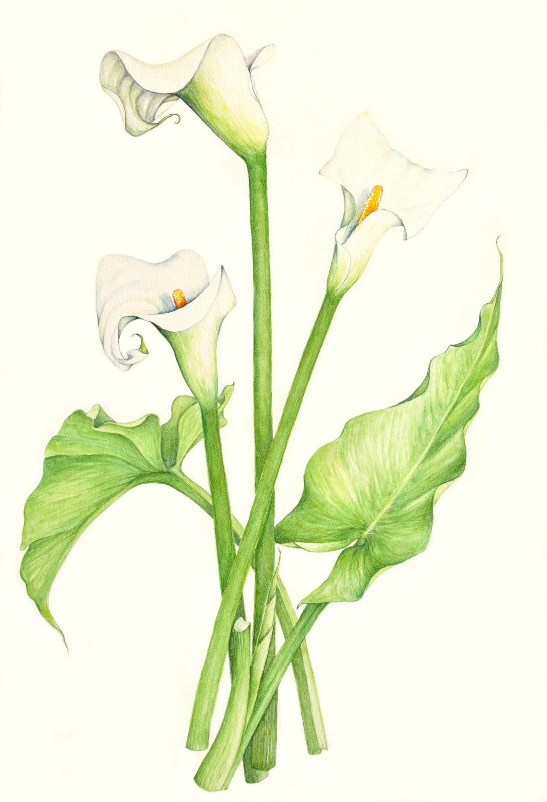 1091x1600 Lily Of The Valley Botanical Drawing
