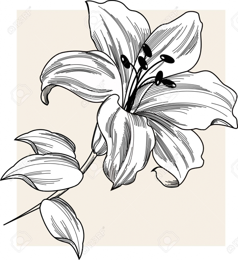 Lily Flower Drawing At Getdrawings Free For Personal Use Lily