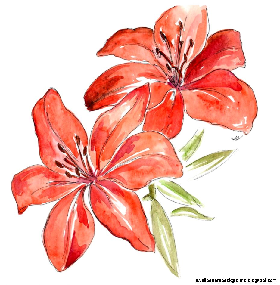 930x947 Lily Flower Drawing Color Wallpapers Background