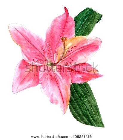 412x470 Lily Flower Drawing Set Of Hand Drawn White Lily Flowers In Side