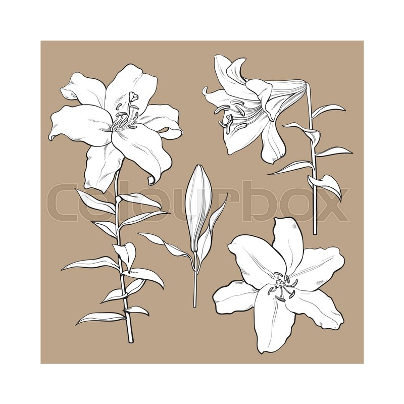800x800 Single Hand Drawn White Lily Flower Bud With Stem And Leaves, Side