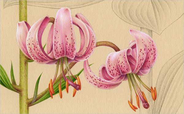 600x373 Flower Drawings