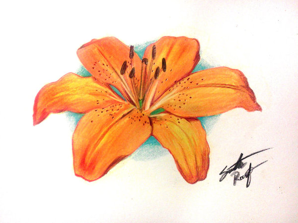 600x450 Image Result For Lily Drawings In Colour Elements Branding